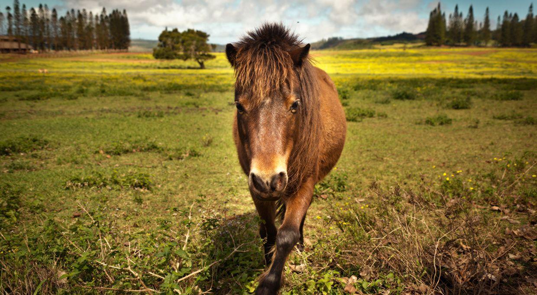 Lanai Horses