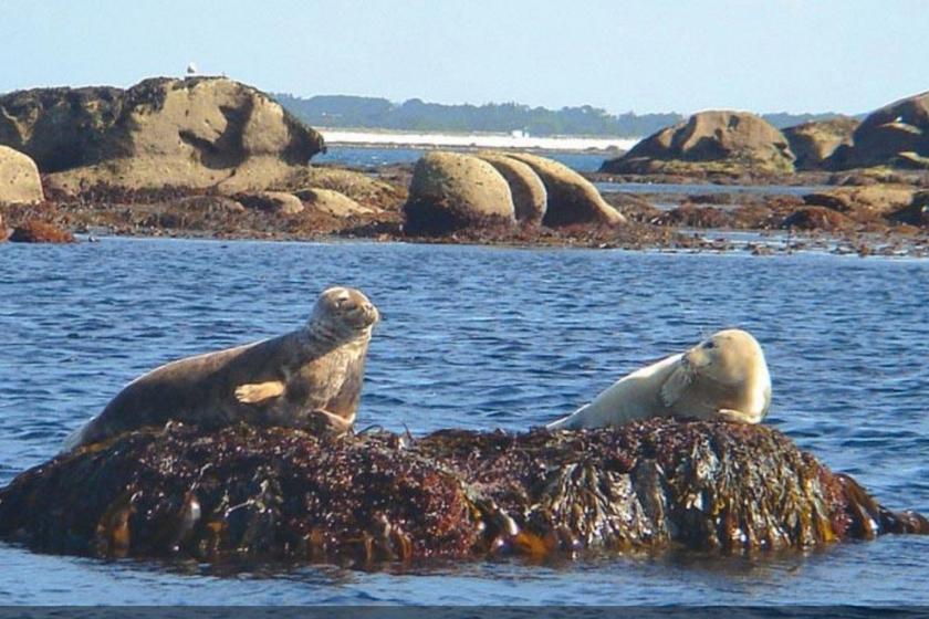 Bretagne-phoques-gris